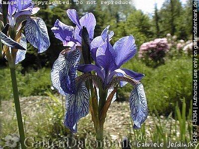 bild sibirische schwertlilie wieseniris wiesenschwertlilie iris sibirica foto die sch nen. Black Bedroom Furniture Sets. Home Design Ideas