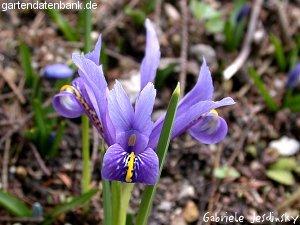 zwergiris netzblattiris iris reticulata syn iridodictyum reticulatum schneiden pflege. Black Bedroom Furniture Sets. Home Design Ideas