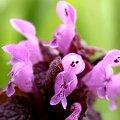 Frühblüher Rote Taubnessel Lamium purpureum Rosa Blüten ganz nah.