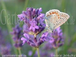 Lavendel Schneiden - Pflege Und Mehr: Echter Lavendel Lavandula ... Lavendel Pflanzen Tipps Pflege
