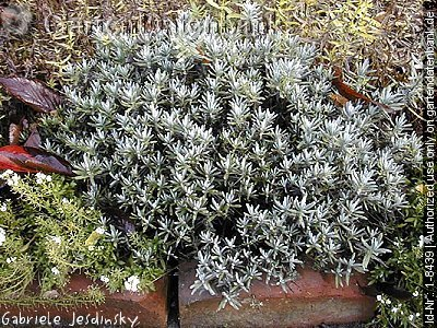 bild lavendel echter lavandula angustifolia foto neutrieb nach schnitt. Black Bedroom Furniture Sets. Home Design Ideas