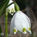 Frühblüher Märzenbecher Leucojum vernum Weiße Blüten.