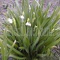 Leucojum aestivum, Sommerknotenblumen, Summer Snowflake, Wuchsform, blühend, weiße