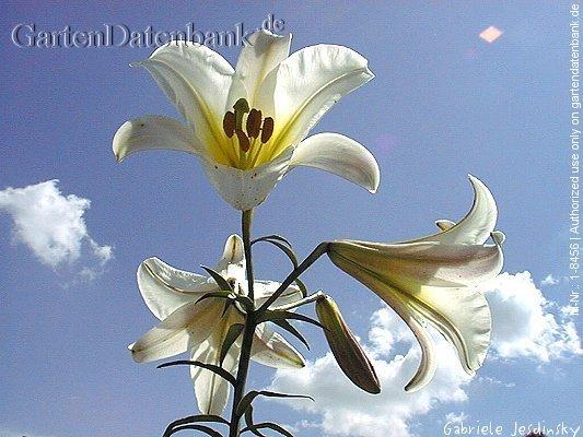 bild k nigslilie wei e lilie lilium regale foto wei e bl ten. Black Bedroom Furniture Sets. Home Design Ideas