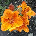 Lilium bulbiferum Rote Bl�ten