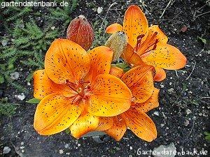 feuerlilie lilium bulbiferum schneiden pflege pflanzen bilder fotos garten. Black Bedroom Furniture Sets. Home Design Ideas