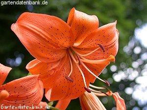 wilde lilie lilium davidii schneiden pflege pflanzen. Black Bedroom Furniture Sets. Home Design Ideas