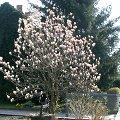 magnolie tulpenmagnolie schneiden pflege magnolia x. Black Bedroom Furniture Sets. Home Design Ideas