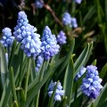 Muscari azureum April