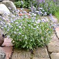 vergissmeinnicht myosotis sylvatica schneiden pflege pflanzen bilder fotos garten. Black Bedroom Furniture Sets. Home Design Ideas