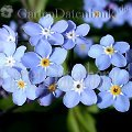 Myosotis sylvatica Blaue Bl�ten
