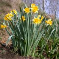 Narzisse, Osterglocke Narcissus pseudonarcissus Wuchsform bl�hend....