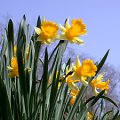 Narzisse, Osterglocke Narcissus pseudonarcissus Wilde gelbe narzisse, gelbe Bl�ten unter bl......