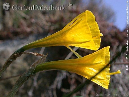 Wild narzisse narcissus bulbocodium gelbe blüten ganz nah seitlich