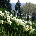 Trips xx_Mainau_Fr�hling Wei�e Narzissen in einer Wiese am Hang in d......