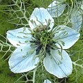 Nigella damascena Blaue Bl�ten