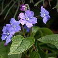 Omphalodes verna April