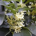 Osmanthus fragrans Immergrüne