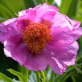 Paeonia intermedia Rote Bl�ten
