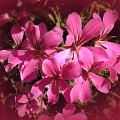 Geranien Blüten, pink