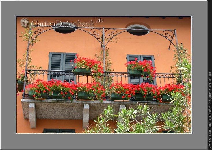 bild geranien h ngegeranien duftgeranien pelargonien pelargonium infos foto zuchtsorte rote. Black Bedroom Furniture Sets. Home Design Ideas