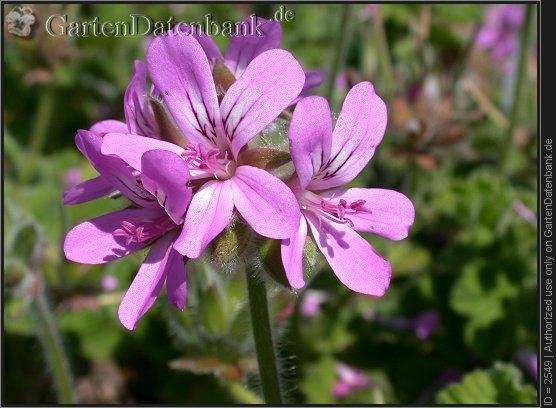 Rosengeranie pelargonium capitatum aufnahme datum 2002 07 29 foto