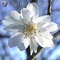 Schneekirsche Winterkirsche Prunus subhirtella 'Autumnalis', weiße Blüte, Makro.