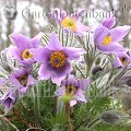 Pulsatilla vulgaris April