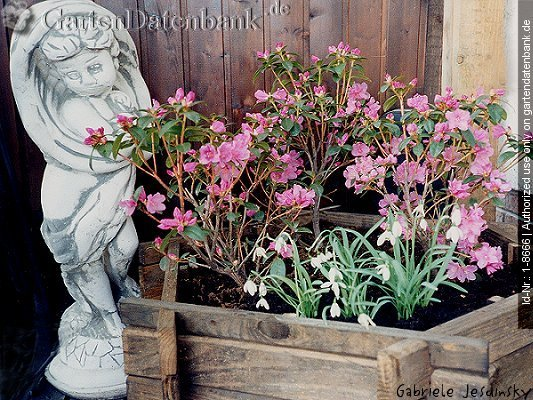 bild rhododendron 39 praecox 39 foto wuchsform im k bel mit galanthus nivalis schneegl ckchen. Black Bedroom Furniture Sets. Home Design Ideas