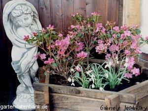 rhododendron 39 praecox 39 erfahrungen vorfr hlingsrhododendron schneiden pflege pflanzen bilder. Black Bedroom Furniture Sets. Home Design Ideas