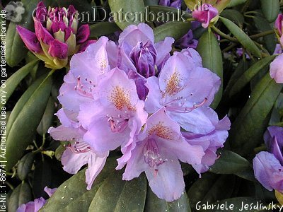 rhododendron 39 catawbiense grandiflorum 39 bilder fotos bild mit infos. Black Bedroom Furniture Sets. Home Design Ideas