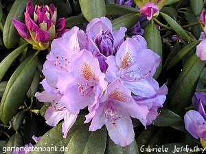 rhododendron 39 catawbiense grandiflorum 39 schneiden pflege pflanzen bilder fotos garten. Black Bedroom Furniture Sets. Home Design Ideas