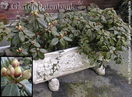 bild rhododendron 39 gartendirektor rieger 39 foto knospen in k bel. Black Bedroom Furniture Sets. Home Design Ideas