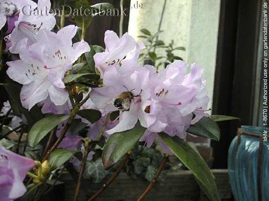 rhododendron 39 praecox 39 erfahrungen vorfr hlingsrhododendron bilder fotos bild mit infos. Black Bedroom Furniture Sets. Home Design Ideas