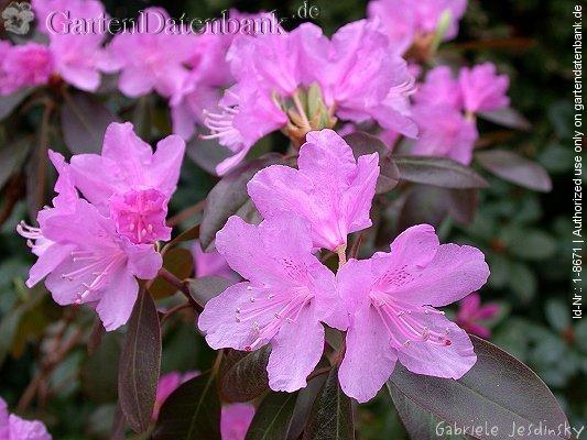 rhododendron 39 peter john mezitt 39 erfahrungen syn rhododendron 39 pjm group 39 bilder fotos. Black Bedroom Furniture Sets. Home Design Ideas