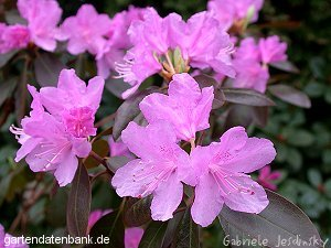 rhododendron 39 peter john mezitt 39 erfahrungen syn rhododendron 39 pjm group 39 schneiden pflege. Black Bedroom Furniture Sets. Home Design Ideas