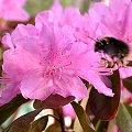Rhododendron 'Peter John Mezitt', rosa Blüten mit Hummel.