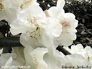 rhododendron 39 gartendirektor rieger 39 syn rhododendron williamsianum 39 gartendirektor rieger. Black Bedroom Furniture Sets. Home Design Ideas