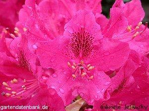 rhododendron 39 nova zembla 39 schneiden pflege pflanzen bilder fotos garten. Black Bedroom Furniture Sets. Home Design Ideas