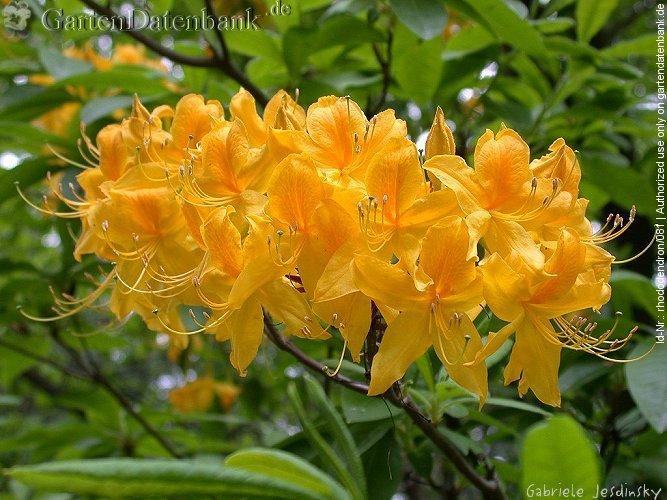 pontische azalee gelbe alpenrose bilder fotos rhododendron luteum syn r flavum azalea. Black Bedroom Furniture Sets. Home Design Ideas