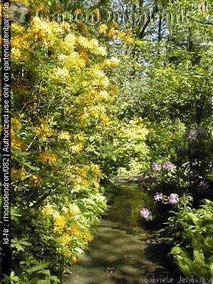 bild pontische azalee gelbe alpenrose rhododendron luteum foto wuchsform. Black Bedroom Furniture Sets. Home Design Ideas