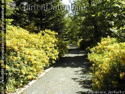 pontische azalee gelbe alpenrose bilder fotos rhododendron luteum syn r flavum azalea. Black Bedroom Furniture Sets. Home Design Ideas