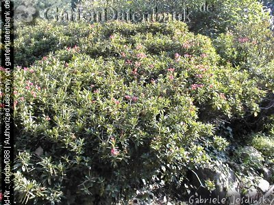 rostbl ttrige alpenrose bilder fotos rhododendron ferrugineum bild mit infos. Black Bedroom Furniture Sets. Home Design Ideas