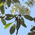 Fortunes Rhododendron (Rhododendron fortunei)