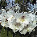 Rhododendron calophytum April