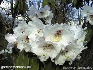 rhododendron calophytum schneiden pflege pflanzen bilder fotos garten. Black Bedroom Furniture Sets. Home Design Ideas