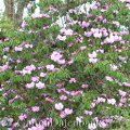 bergruhmrhododendron rhododendron oreodoxa schneiden. Black Bedroom Furniture Sets. Home Design Ideas