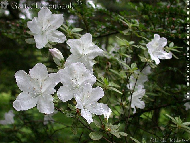 porstbl ttrige azaleen bilder fotos rhododendron. Black Bedroom Furniture Sets. Home Design Ideas