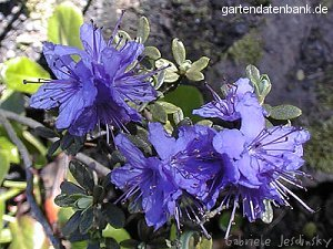 veilchenblauer rhododendron rhododendron impeditum schneiden pflege pflanzen bilder fotos garten. Black Bedroom Furniture Sets. Home Design Ideas