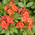 Rhododendron calendulaceum Rote Bl�ten